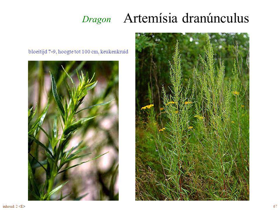 Artemísia dranúnculus bloeitijd 7-9, hoogte tot 100 cm, keukenkruid inhoud: 2 67 Dragon