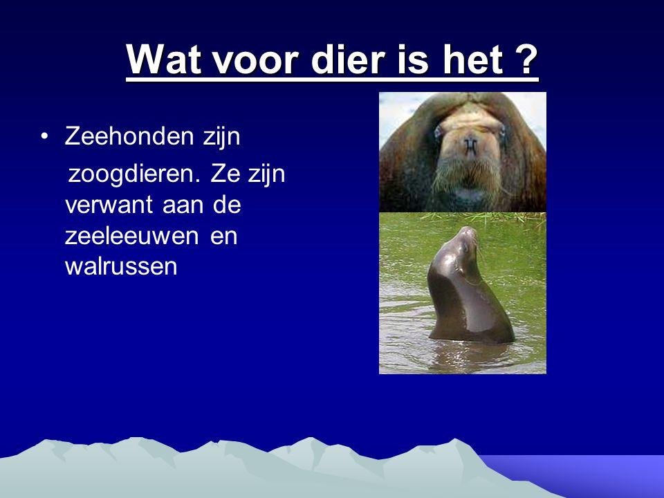 Wat voor dier is het ? Zeehonden zijn zoogdieren. Ze zijn verwant aan de zeeleeuwen en walrussen