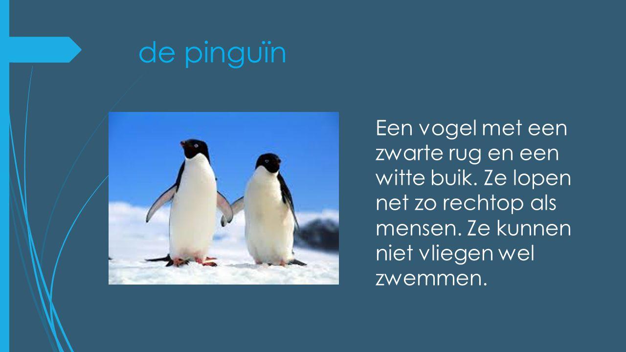 de pinguïn Een vogel met een zwarte rug en een witte buik. Ze lopen net zo rechtop als mensen. Ze kunnen niet vliegen wel zwemmen.