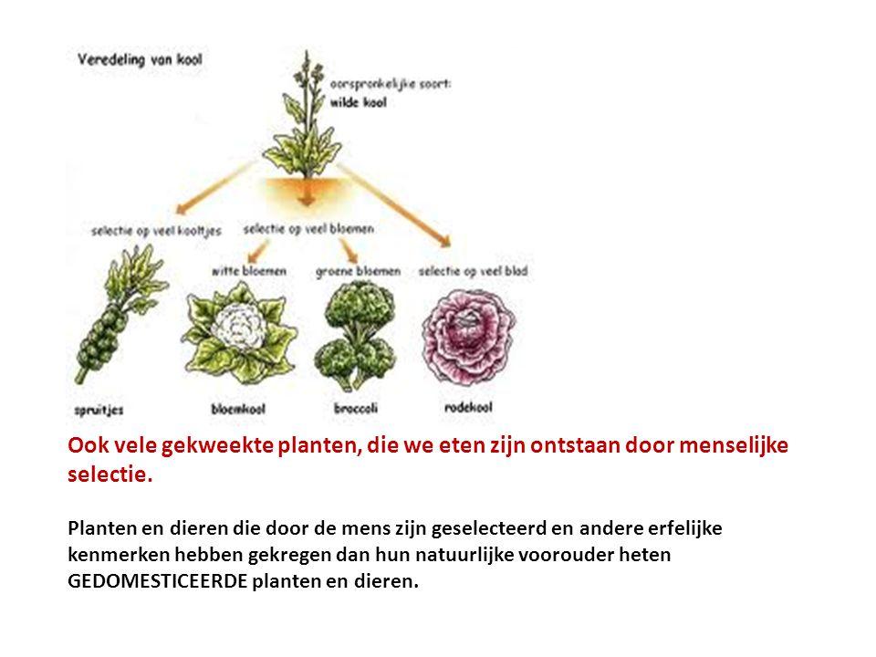 Ook vele gekweekte planten, die we eten zijn ontstaan door menselijke selectie.