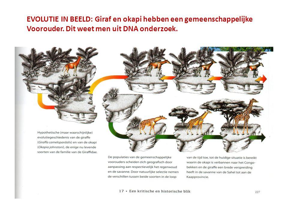 EVOLUTIE IN BEELD: Giraf en okapi hebben een gemeenschappelijke Voorouder.