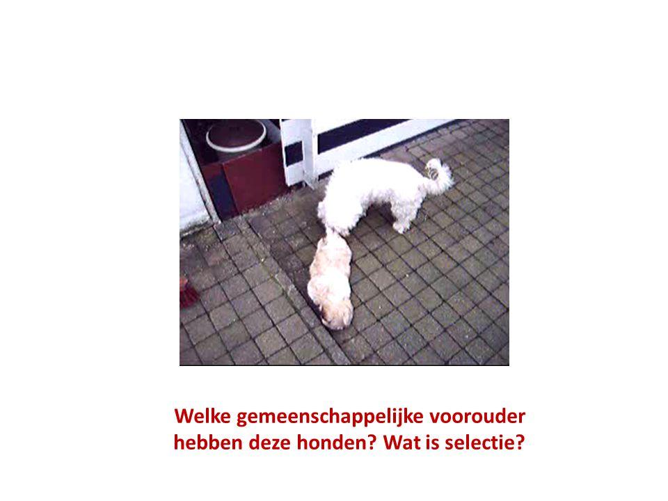 Welke gemeenschappelijke voorouder hebben deze honden? Wat is selectie?