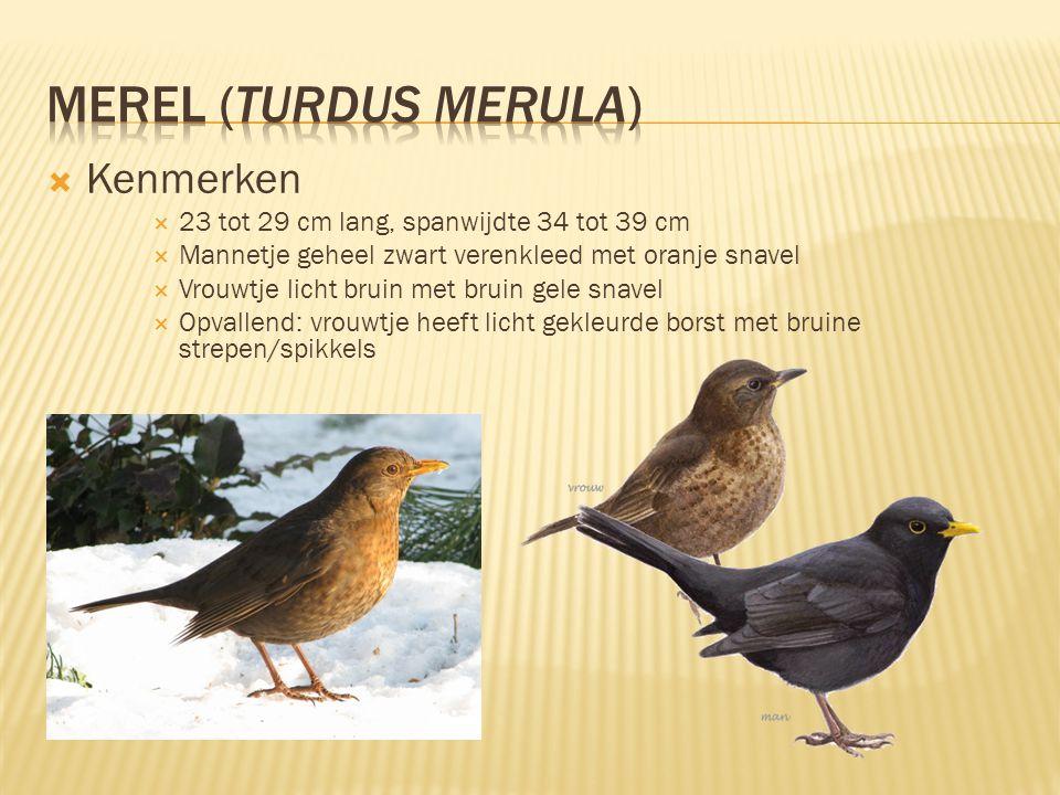  Kenmerken  23 tot 29 cm lang, spanwijdte 34 tot 39 cm  Mannetje geheel zwart verenkleed met oranje snavel  Vrouwtje licht bruin met bruin gele sn