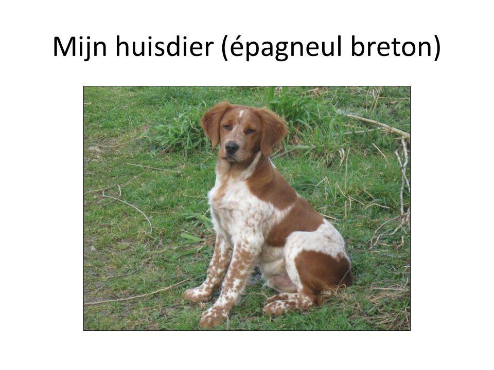 Mijn huisdier (épagneul breton)