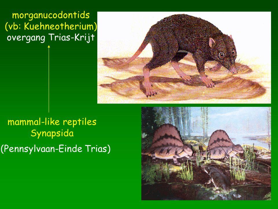 mammal-like reptiles Synapsida pelycosauria therapsiden (Pennsylvaan-Einde Trias) morganucodontids (vb: Kuehneotherium) overgang Trias-Krijt