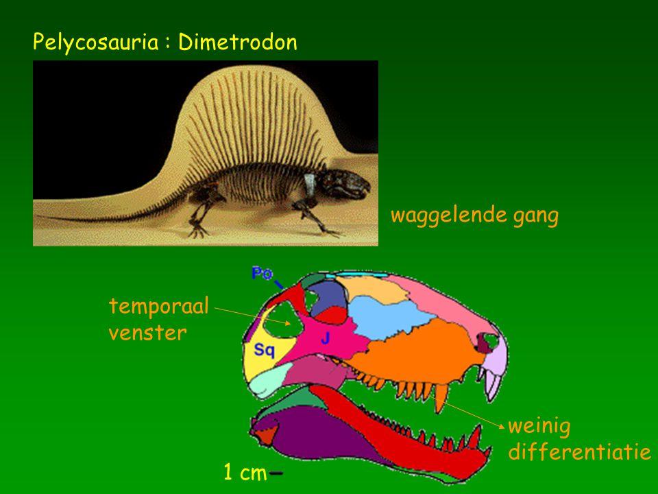 1 cm Pelycosauria : Dimetrodon temporaal venster weinig differentiatie waggelende gang