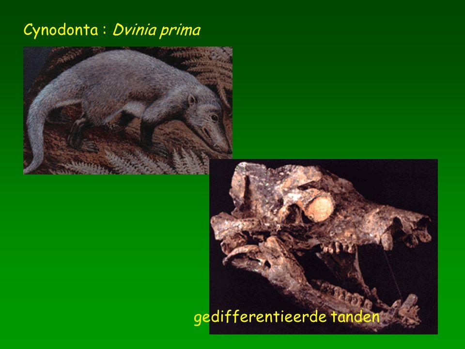 Cynodonta : Dvinia prima gedifferentieerde tanden