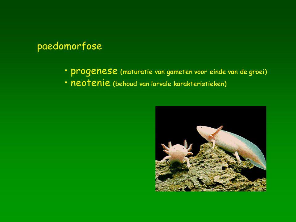 paedomorfose progenese (maturatie van gameten voor einde van de groei) neotenie (behoud van larvale karakteristieken)
