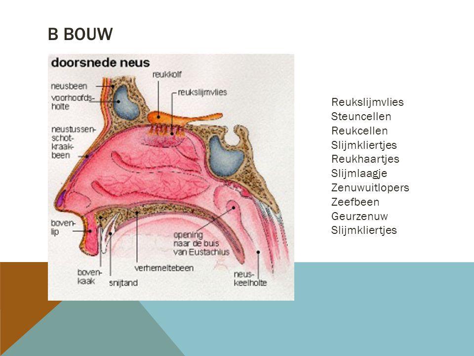 B BOUW Reukslijmvlies Steuncellen Reukcellen Slijmkliertjes Reukhaartjes Slijmlaagje Zenuwuitlopers Zeefbeen Geurzenuw Slijmkliertjes