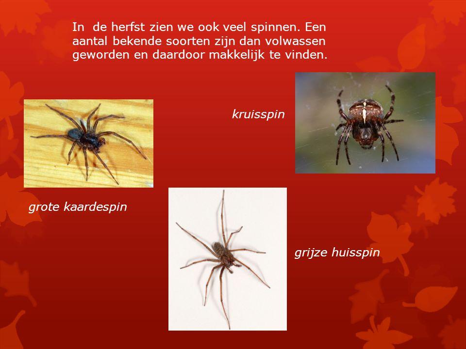 In de herfst zien we ook veel spinnen. Een aantal bekende soorten zijn dan volwassen geworden en daardoor makkelijk te vinden. kruisspin grote kaardes