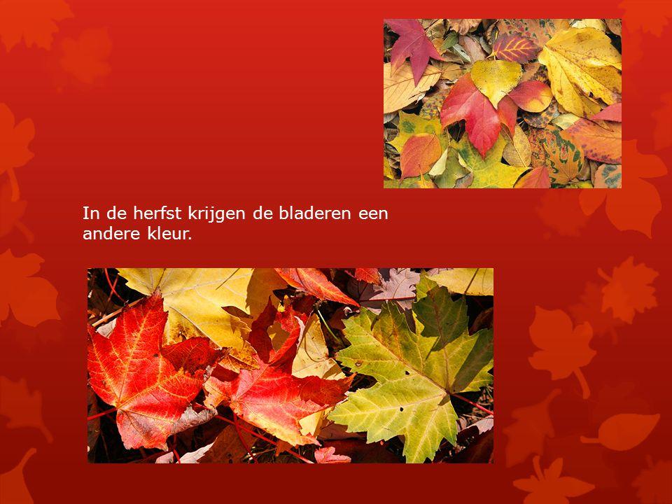 In de herfst krijgen de bladeren een andere kleur.