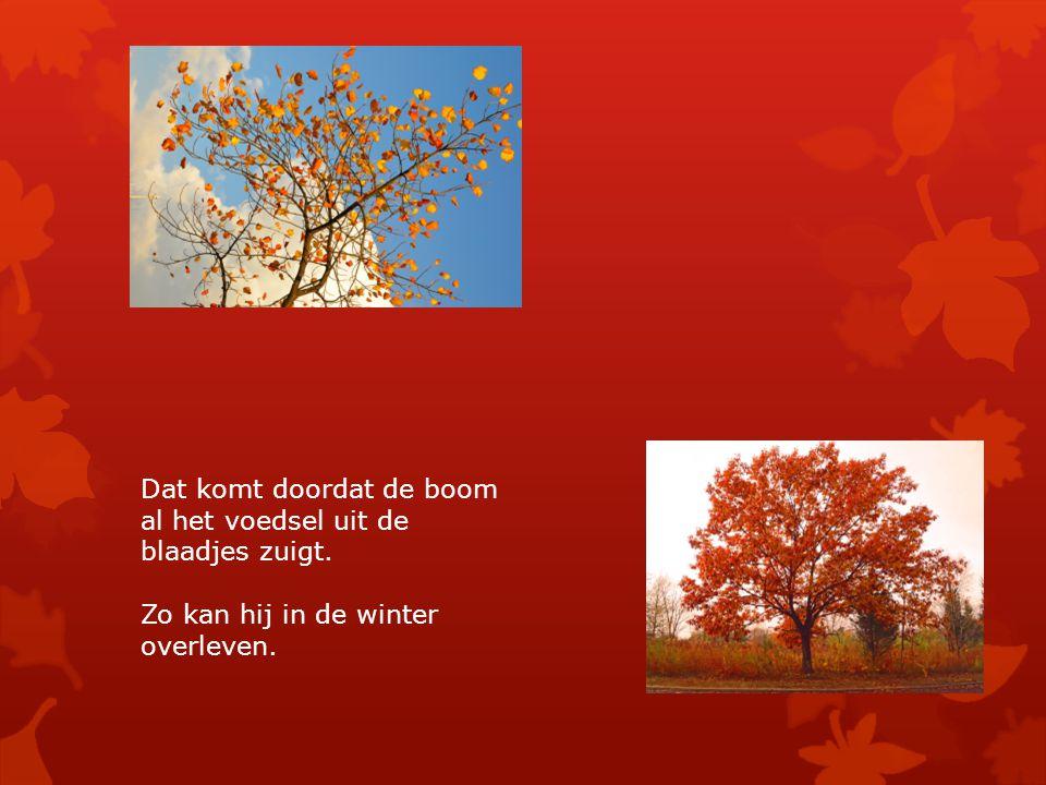 Dat komt doordat de boom al het voedsel uit de blaadjes zuigt. Zo kan hij in de winter overleven.