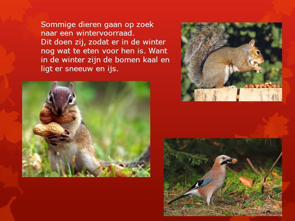 Sommige dieren gaan op zoek naar een wintervoorraad. Dit doen zij, zodat er in de winter nog wat te eten voor hen is. Want in de winter zijn de bomen