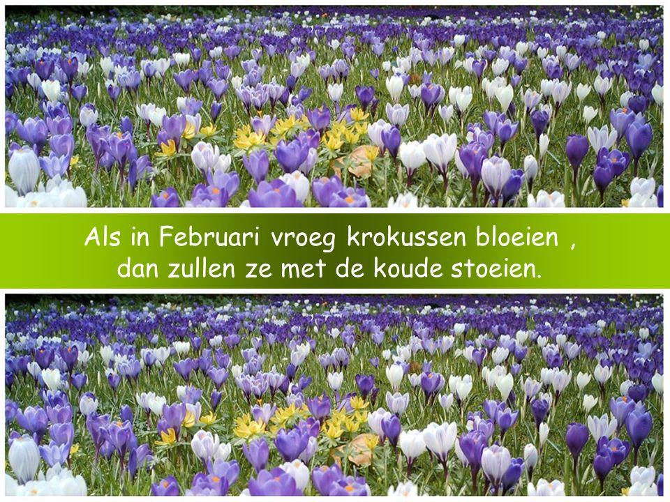 Als in Februari vroeg krokussen bloeien, dan zullen ze met de koude stoeien.