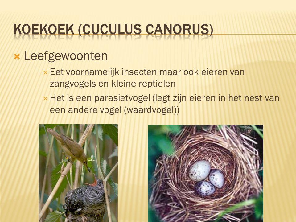  Kenmerken  32 tot 36 cm lang, spanwijdte 38 tot 46 cm  Mannetjes: blauwgrijs verekleed vrouwtjes: blauwgrijs verekleed roestbruine dwarstreep over de borst  Mannetje:Gele iris vrouwtje: Lichtbruine iris