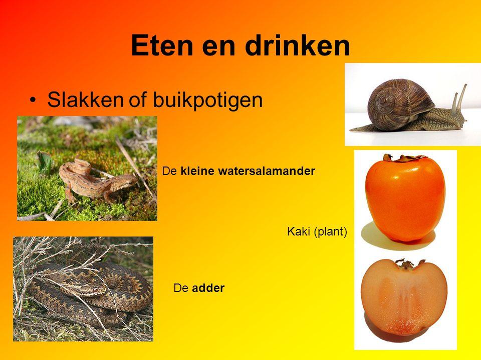 Eten en drinken Slakken of buikpotigen De kleine watersalamander Kaki (plant) De adder