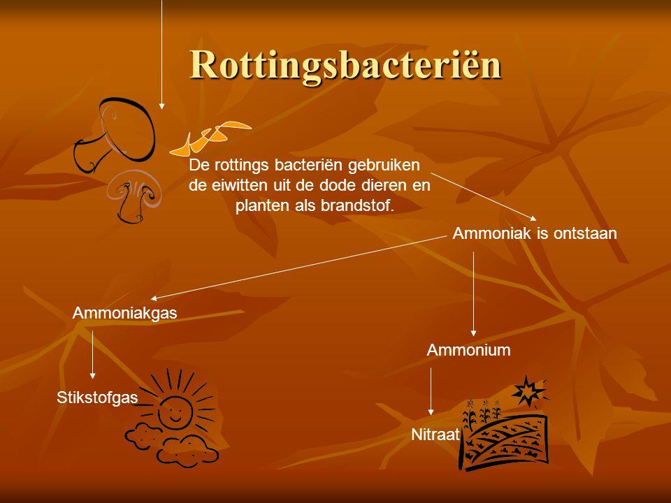 Rottingsbacteriën Rottingsbacteriën De rottings bacteriën gebruiken de eiwitten uit de dode dieren en planten als brandstof. Ammoniak is ontstaan Ammo