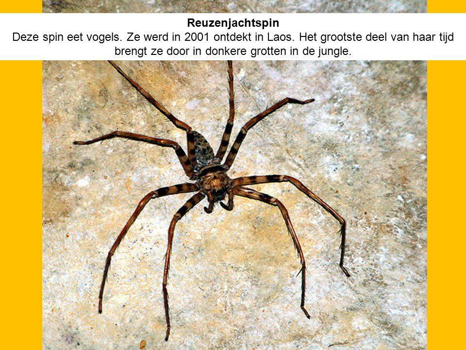 Reuzenjachtspin Deze spin eet vogels. Ze werd in 2001 ontdekt in Laos. Het grootste deel van haar tijd brengt ze door in donkere grotten in de jungle.