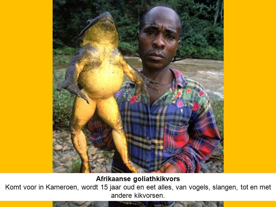 Afrikaanse goliathkikvors Komt voor in Kameroen, wordt 15 jaar oud en eet alles, van vogels, slangen, tot en met andere kikvorsen.