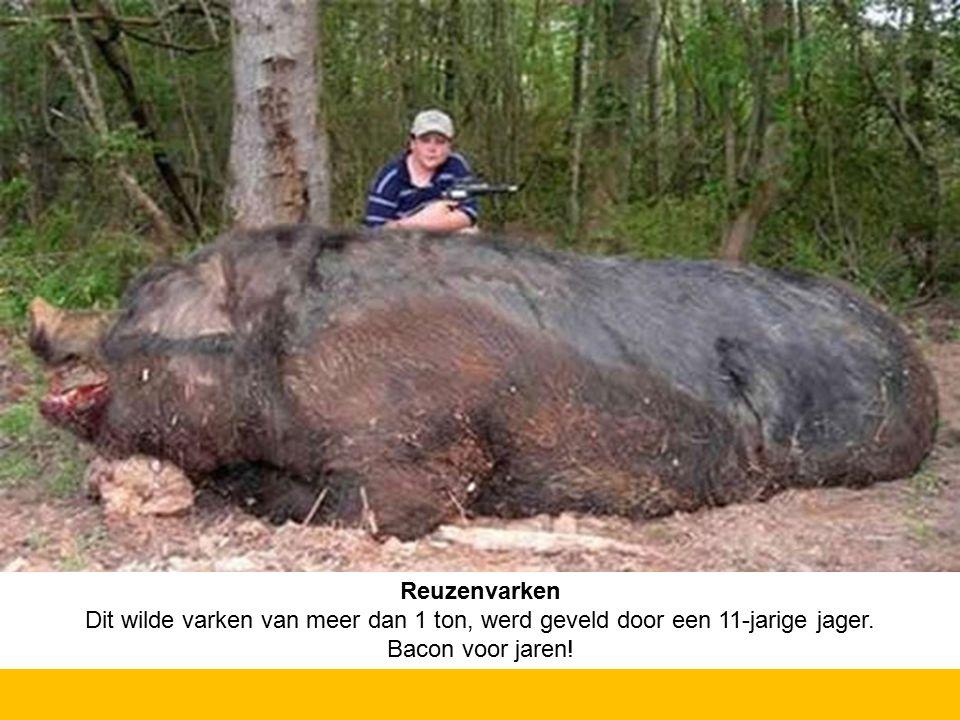 Reuzenvarken Dit wilde varken van meer dan 1 ton, werd geveld door een 11-jarige jager. Bacon voor jaren!