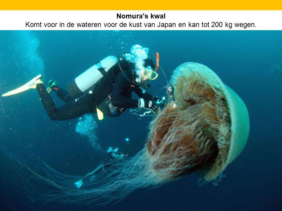 Nomura's kwal Komt voor in de wateren voor de kust van Japan en kan tot 200 kg wegen.
