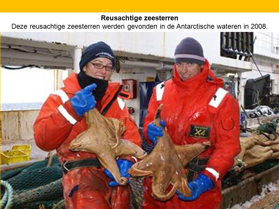 Reusachtige zeesterren Deze reusachtige zeesterren werden gevonden in de Antarctische wateren in 2008.