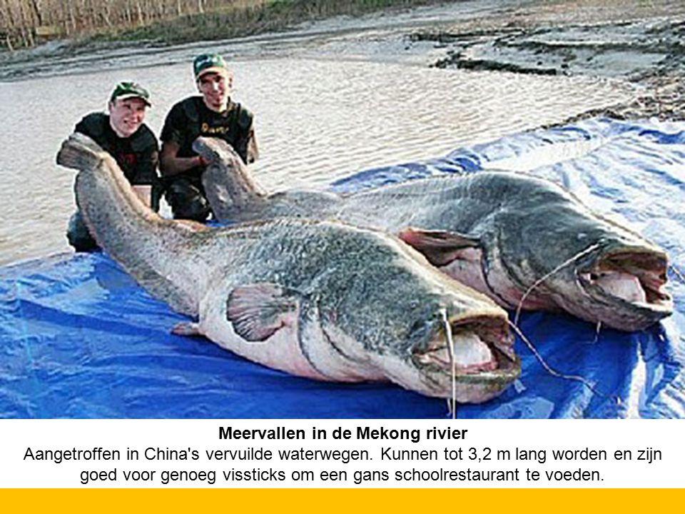 Meervallen in de Mekong rivier Aangetroffen in China's vervuilde waterwegen. Kunnen tot 3,2 m lang worden en zijn goed voor genoeg vissticks om een ga