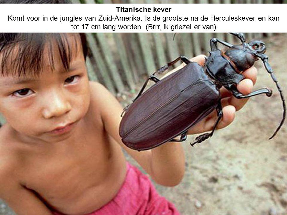 Titanische kever Komt voor in de jungles van Zuid-Amerika. Is de grootste na de Herculeskever en kan tot 17 cm lang worden. (Brrr, ik griezel er van)