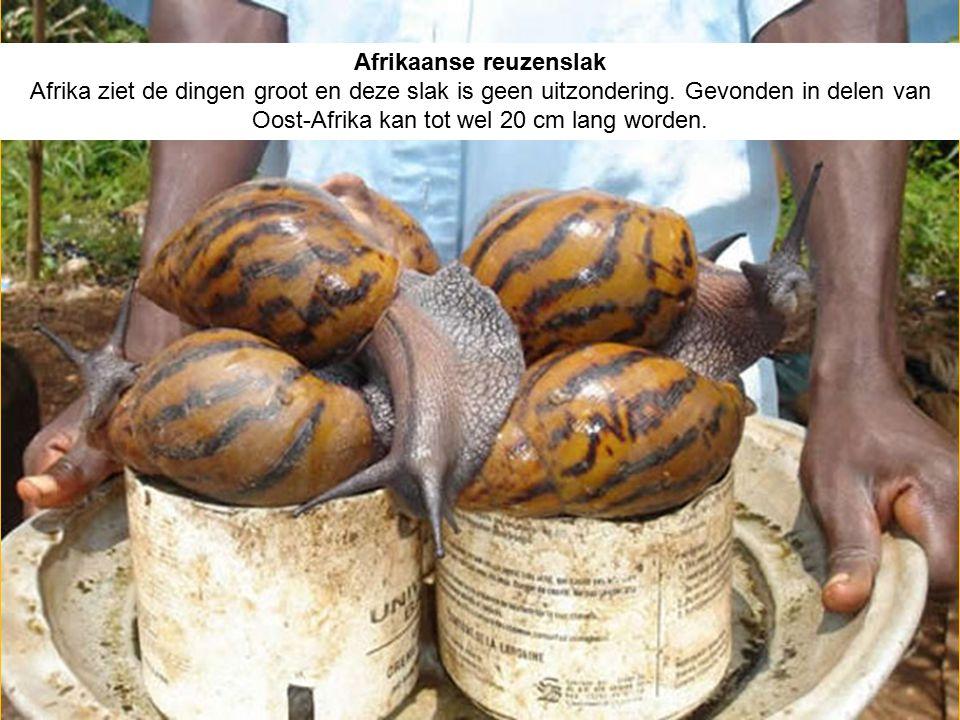 Afrikaanse reuzenslak Afrika ziet de dingen groot en deze slak is geen uitzondering. Gevonden in delen van Oost-Afrika kan tot wel 20 cm lang worden.