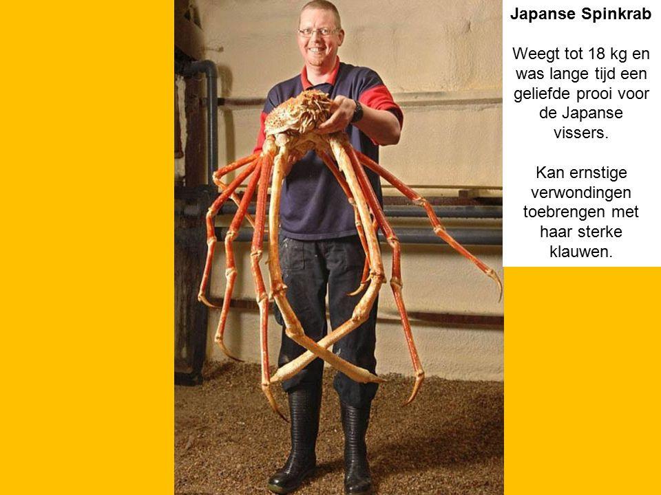 Japanse Spinkrab Weegt tot 18 kg en was lange tijd een geliefde prooi voor de Japanse vissers. Kan ernstige verwondingen toebrengen met haar sterke kl