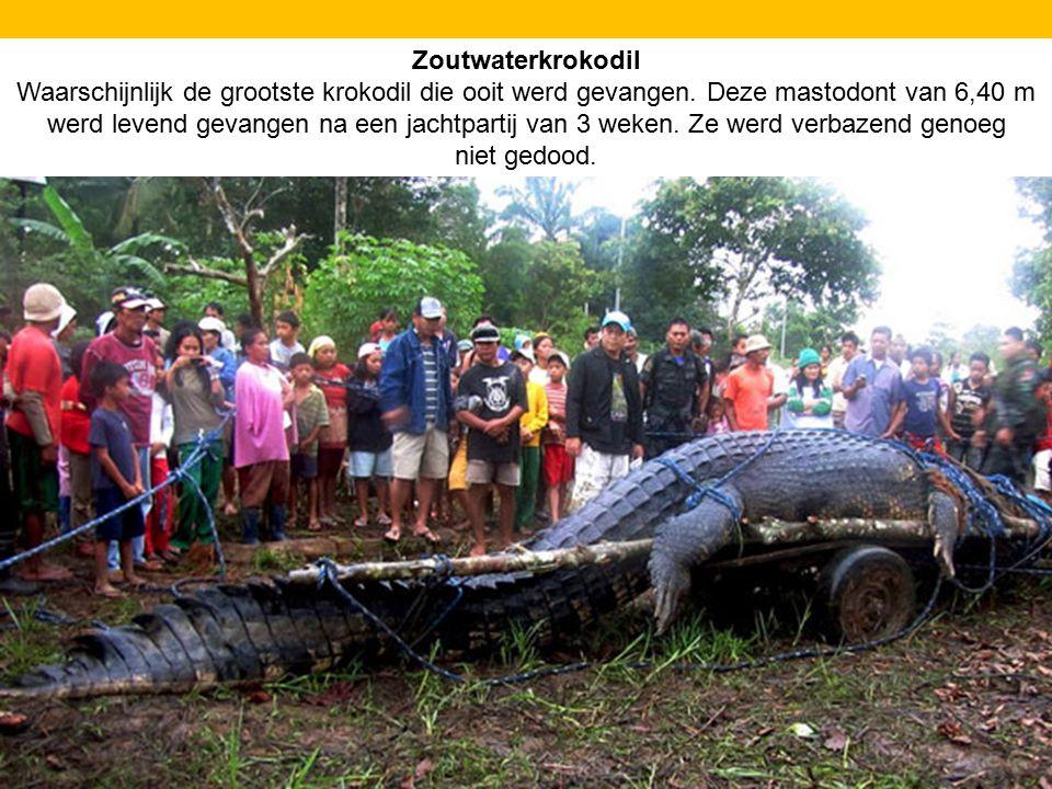 Zoutwaterkrokodil Waarschijnlijk de grootste krokodil die ooit werd gevangen. Deze mastodont van 6,40 m werd levend gevangen na een jachtpartij van 3
