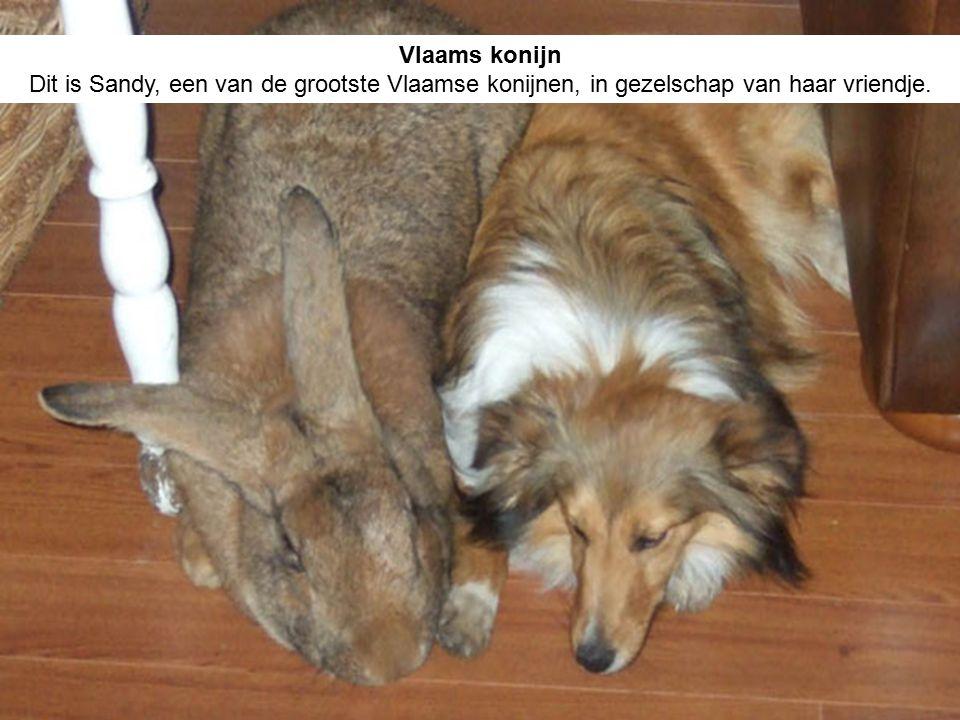 Vlaams konijn Dit is Sandy, een van de grootste Vlaamse konijnen, in gezelschap van haar vriendje.