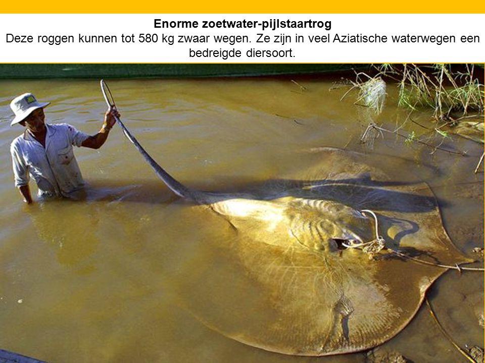 Enorme zoetwater-pijlstaartrog Deze roggen kunnen tot 580 kg zwaar wegen. Ze zijn in veel Aziatische waterwegen een bedreigde diersoort.