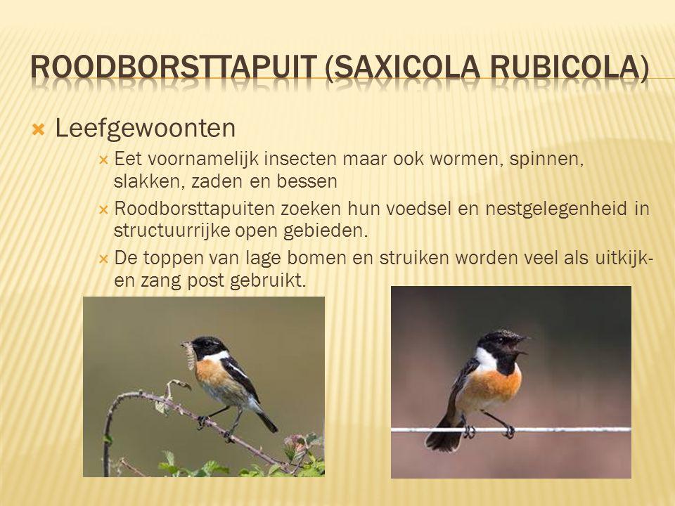  Kenmerken  11,5-13 cm lang, spanwijdte 21 tot 23 cm  Zowel mannetjes als vrouwtjes hebben een oranje borst maar het zijn de mannetjes die echt opv
