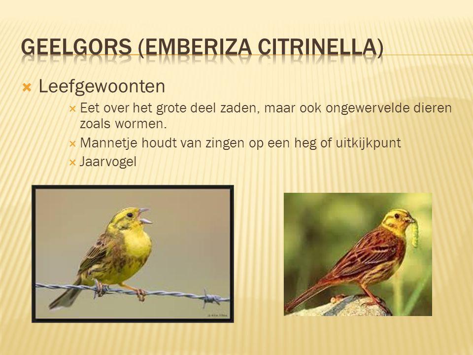  Kenmerken  15 tot 17 cm lang, spanwijdte 23 tot 29 cm  De gele kop en borst vallen sterk op, evenals de karakteristieke, verdragende roep.  De ma