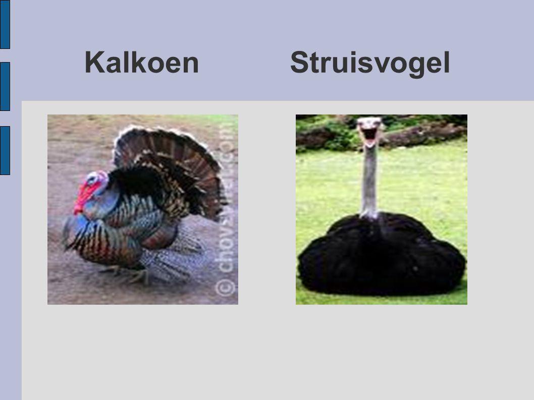 Kalkoen Struisvogel