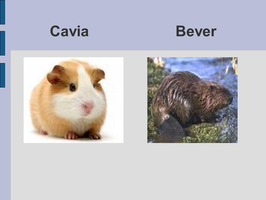 Cavia Bever