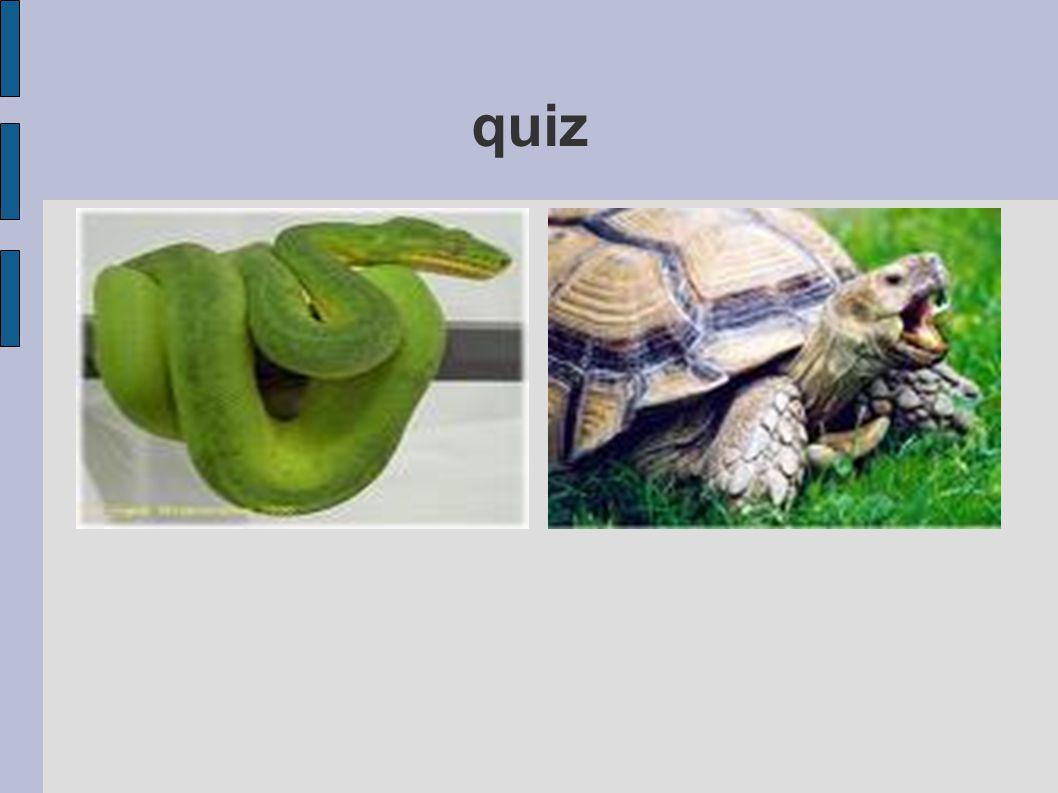 slang schildpad