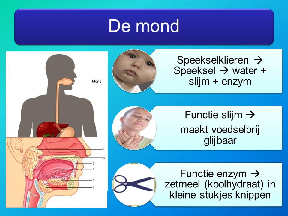 De mond Speekselklieren  Speeksel  water + slijm + enzym Functie slijm  maakt voedselbrij glijbaar Functie enzym  zetmeel (koolhydraat) in kleine stukjes knippen