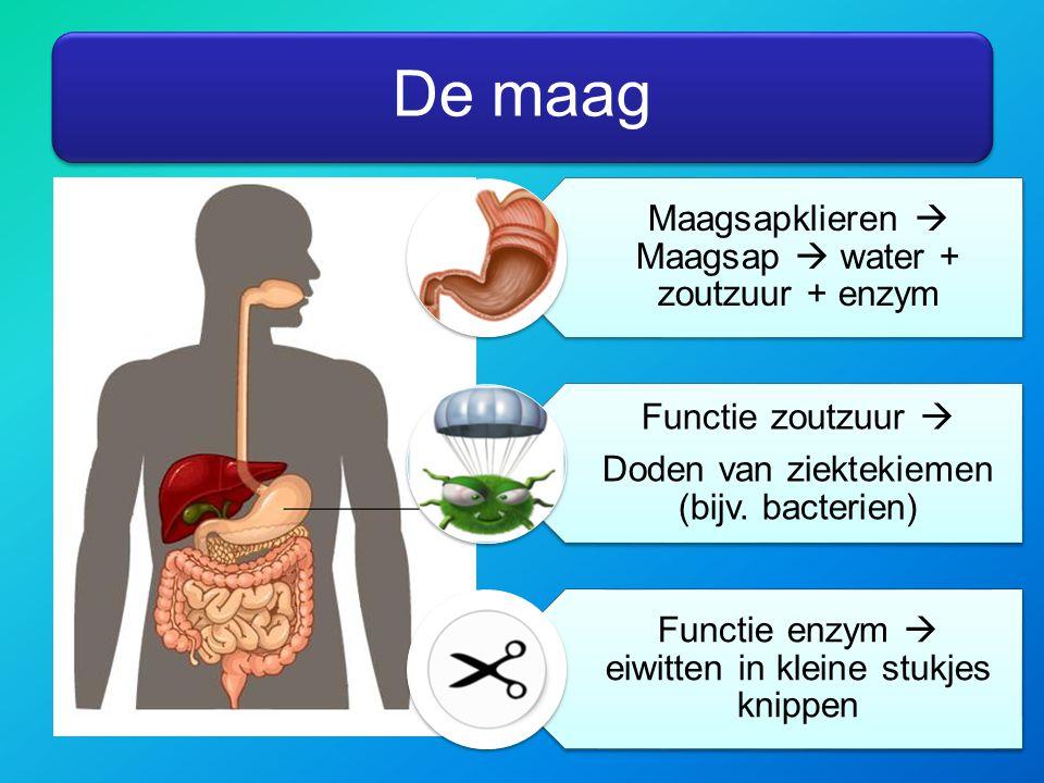 De maag Maagsapklieren  Maagsap  water + zoutzuur + enzym Functie zoutzuur  Doden van ziektekiemen (bijv. bacterien) Functie enzym  eiwitten in kl