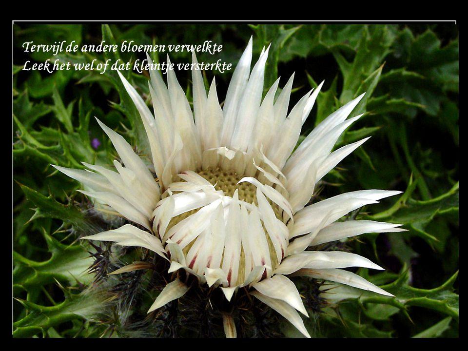 Terwijl de andere bloemen verwelkte Leek het wel of dat kleintje versterkte