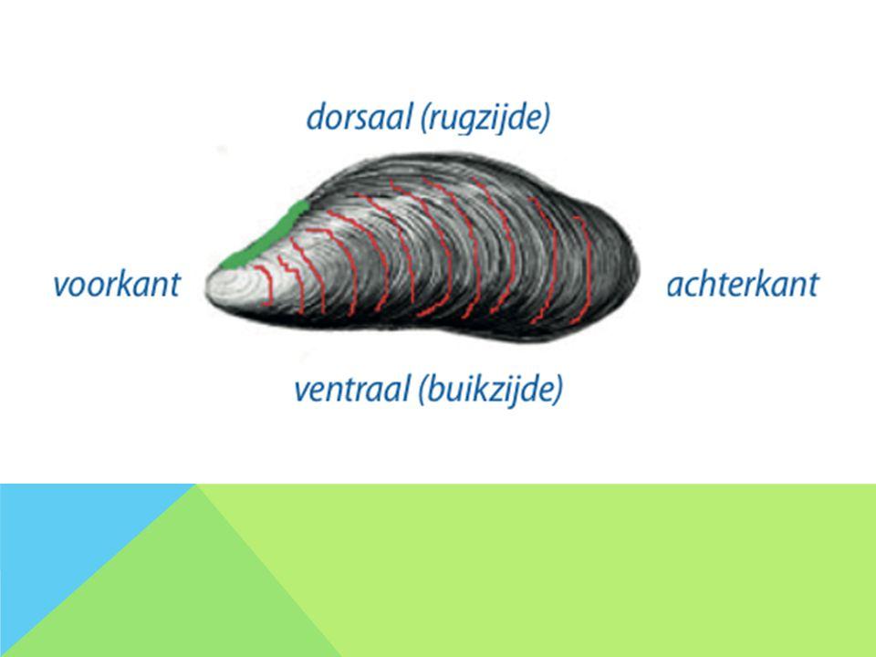 WAARNEMEN -WAAR bevindt zich het oudste gedeelte van de mossel.