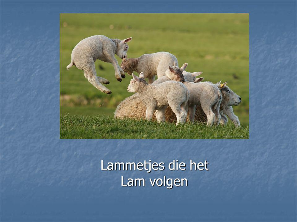 Lammetjes die het Lam volgen