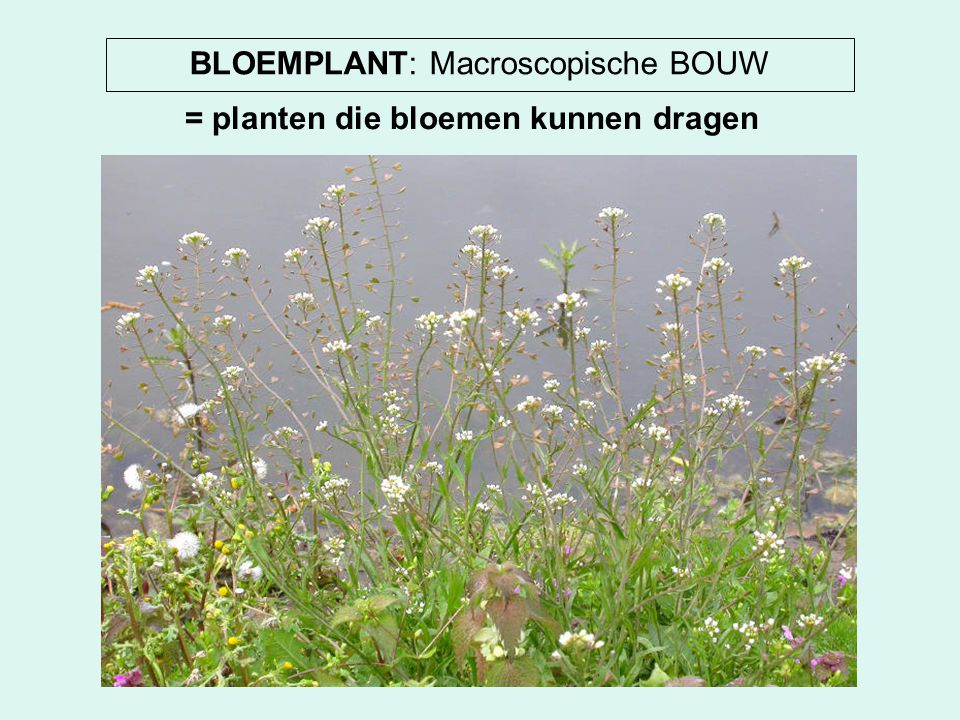 BLOEMPLANT: Macroscopische BOUW = planten die bloemen kunnen dragen
