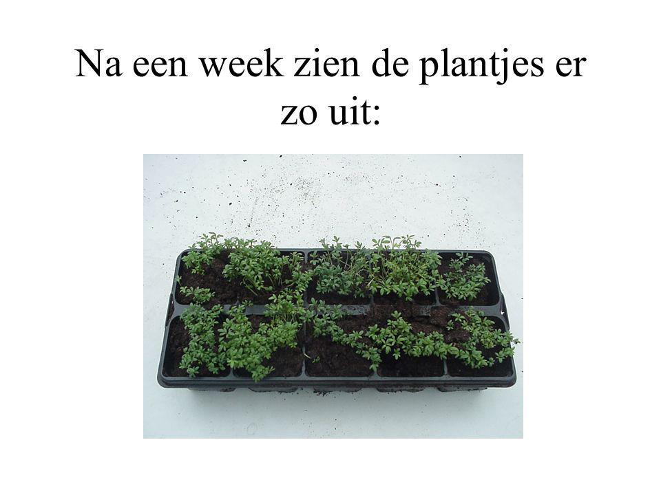Na een week zien de plantjes er zo uit: