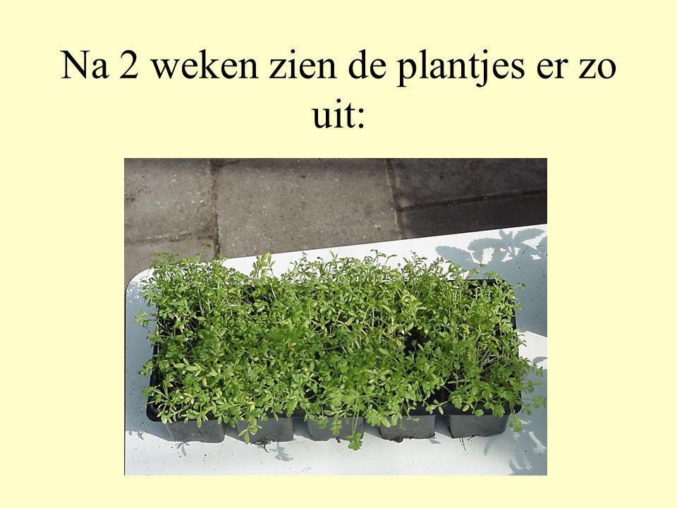 Na 2 weken zien de plantjes er zo uit: