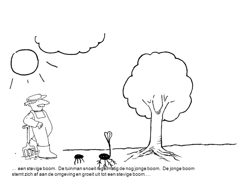 … een stevige boom.De tuinman snoeit regelmatig de nog jonge boom.