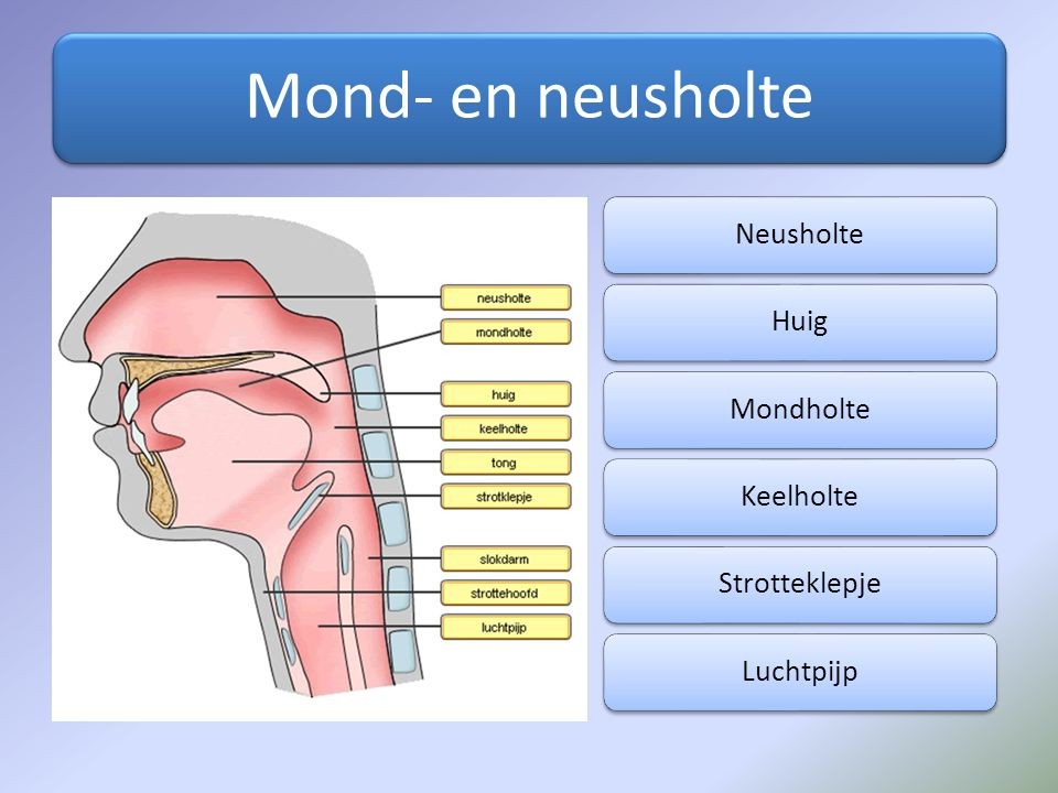 Mond- en neusholte NeusholteHuigMondholteKeelholteStrotteklepjeLuchtpijp