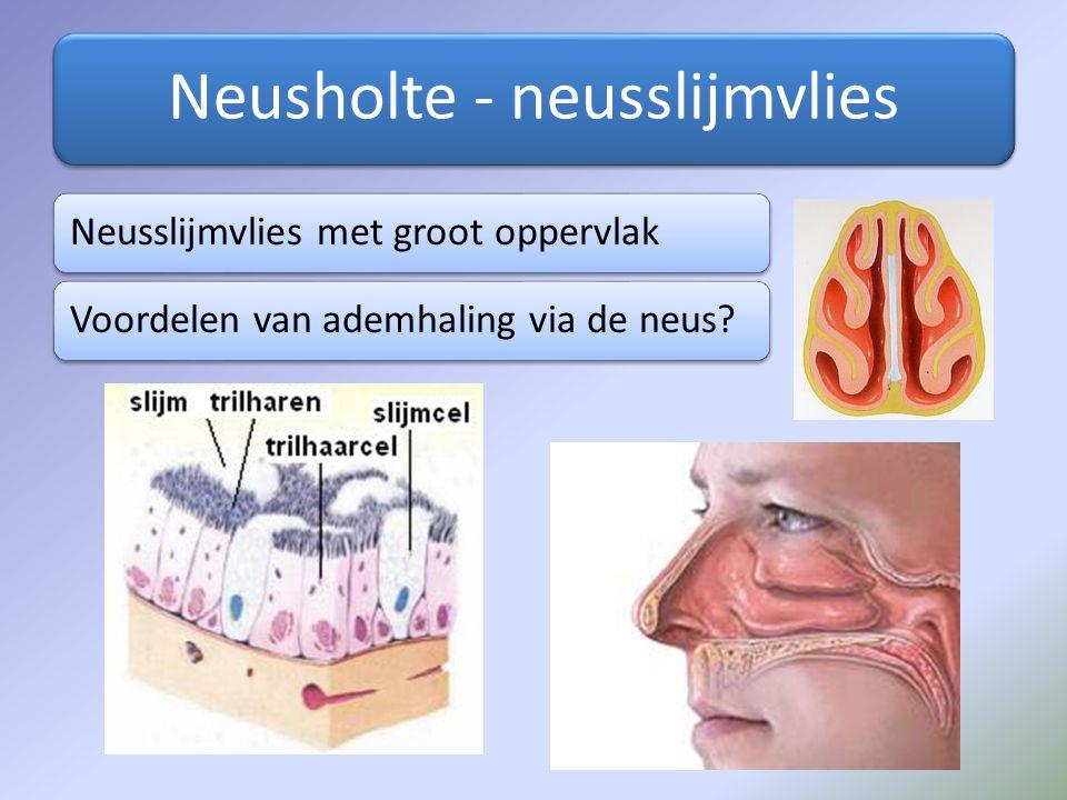 Neusholte - neusslijmvlies Neusslijmvlies met groot oppervlakVoordelen van ademhaling via de neus?
