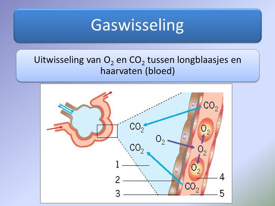Gaswisseling Uitwisseling van O2 en CO2 tussen longblaasjes en haarvaten (bloed)